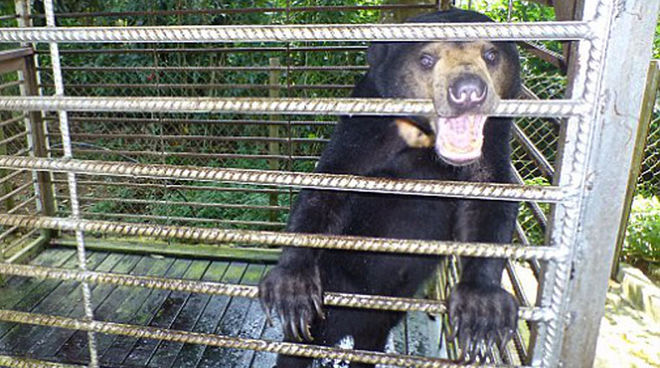 A sun bear in a cage in Sabah
