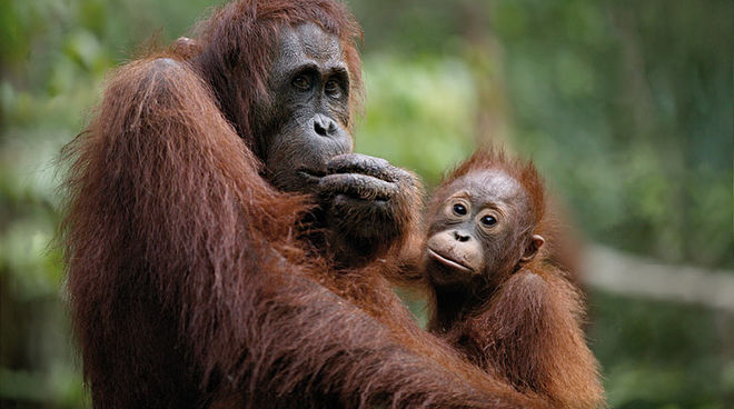 Orangutan mother and child. Churchill Mining's project could pose a great threat to them