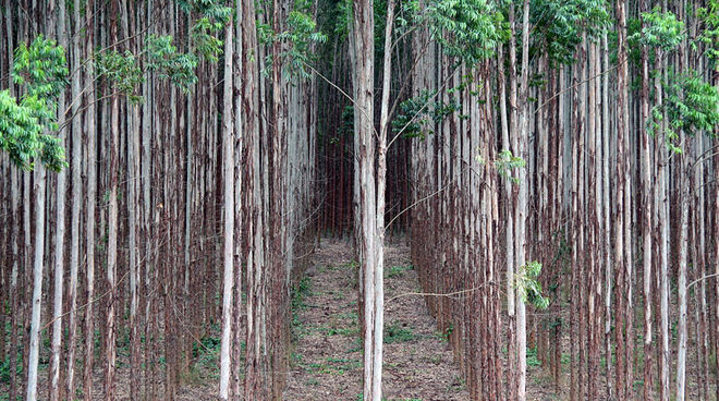 Eucalyptus trees planted in straight lines on the industrial plantation of a Brazilian paper company