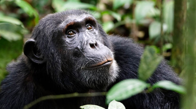 A bonobo in a tropical forest