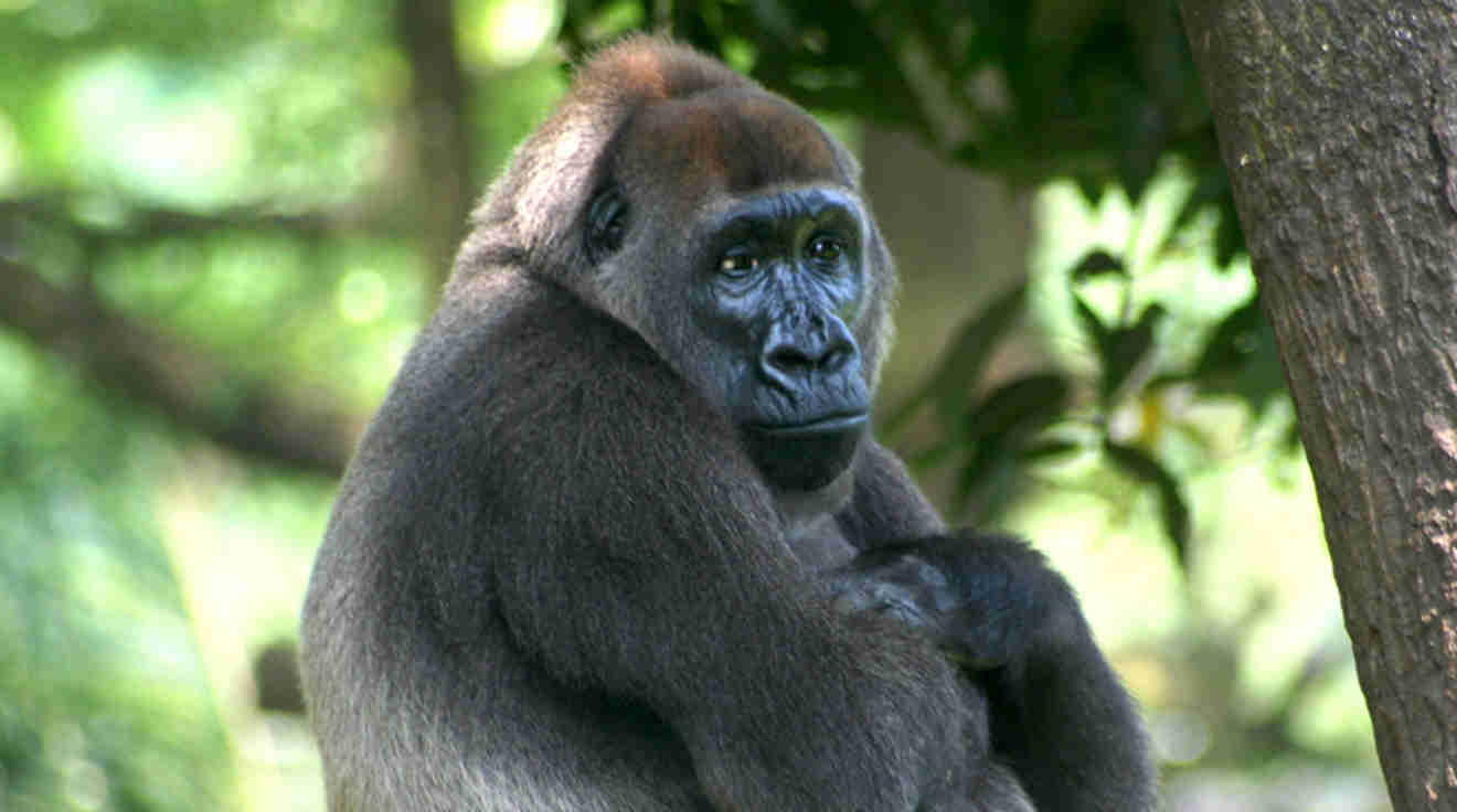 syndrome x and the silverback gorillas
