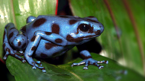 Blue frog with spots on a leaf