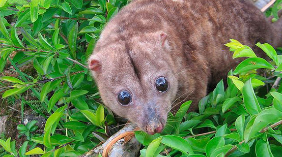 The Woodlark cuscus, a nocturnal marsupial
