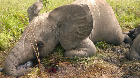 A young elephant lying dead on the ground