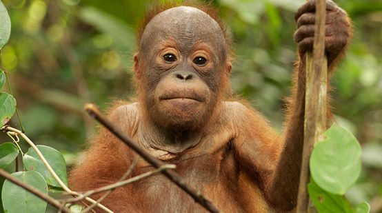 A orangutan youngster sitting in a tree