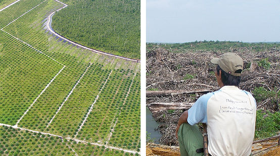 2 pictures. Left: Oil palm plantation next to rainforest. Right: A man looks at devastated land