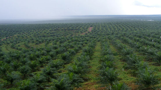 Oil palm seedlings on a plantation in Indonesia