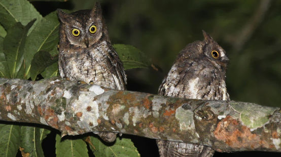 Two owls sitting on a branch