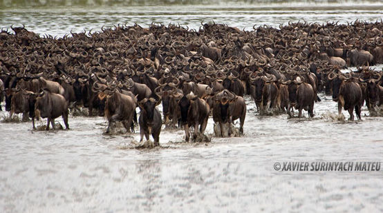 Horde of Antilopes in a lake