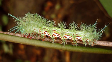 Automeris sp. caterpillar on a twig