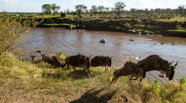 A herd of gnus crossing a river