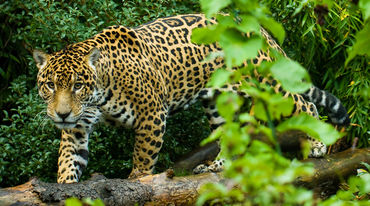 Jaguar surrounded by vegetation