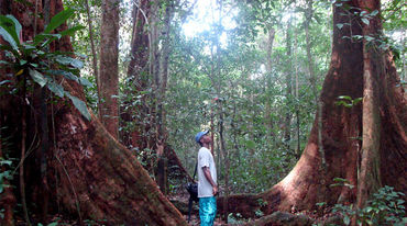 Man standing between two huge trees in the Korup rainforest