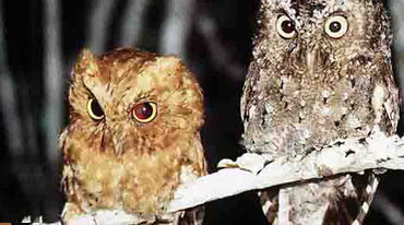 Two Sokoke Scops Owls sitting on a branch