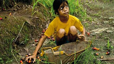 A young girl gathering oil palm fruit off the ground