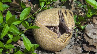 A Brazilian three-banded armadillo rolls itself into a ball.