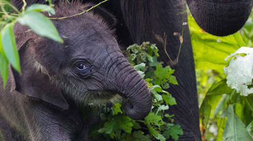 An elephant calf in Leuser Ecosystem, Indonesia