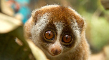 Slow loris on a tree