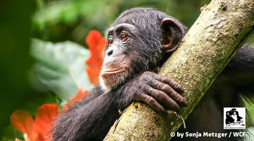 A chimpanzee in Liberia