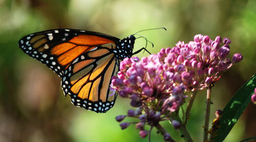 A monarch butterfly feeding on milkweed nectar.