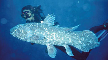 The coelacanth