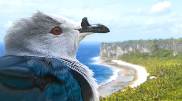 Polynesian imperial pigeon, Makatea Atoll in background