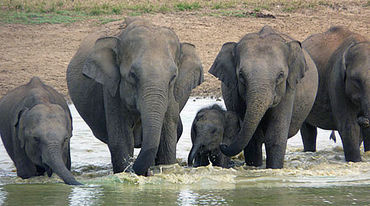 Sri Lankan elephants drinking in a water hole