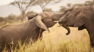 Two nuzzling elephants are facing each other in the savannah