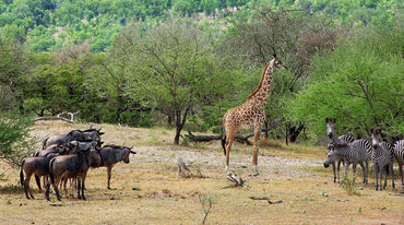 Gnus, giraffes and zebras in the Selous Game Reserve in Tanzania