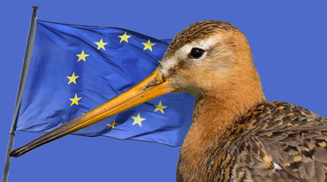 Godwit and EU flag