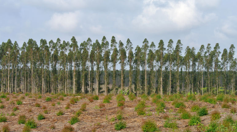 Tree plantation in South Africa
