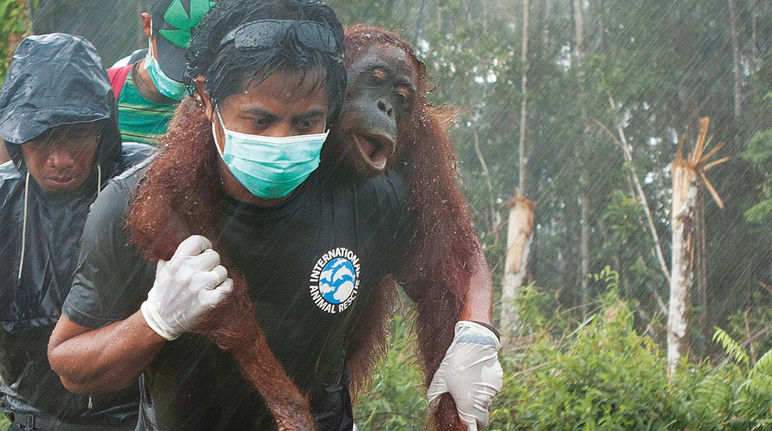 An unconscious orangutan is being carried on the shoulders of an activist