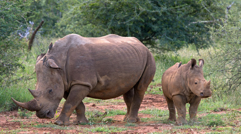 A young rhino and an adult standing in the savannah