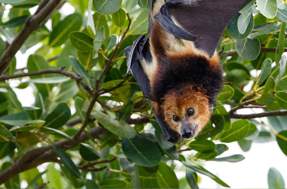 Mauritius Flying Foxes Stop The Bloodbath Rainforest