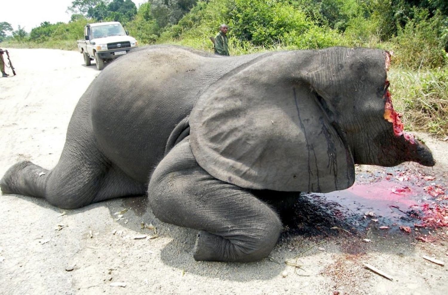 Tell The Eu To Ban The Ivory Trade Now Rainforest Rescue