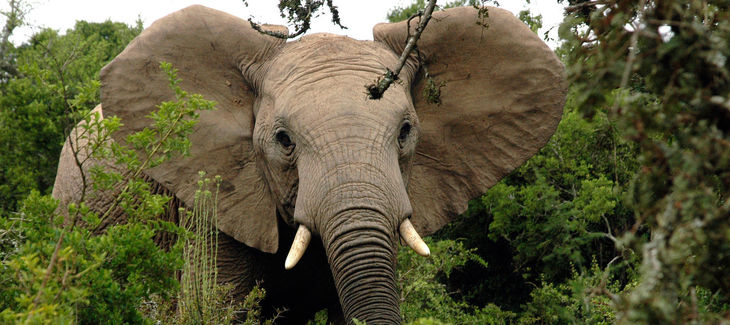 African elephant in a forest