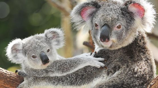 A koala mother with her baby on a tree