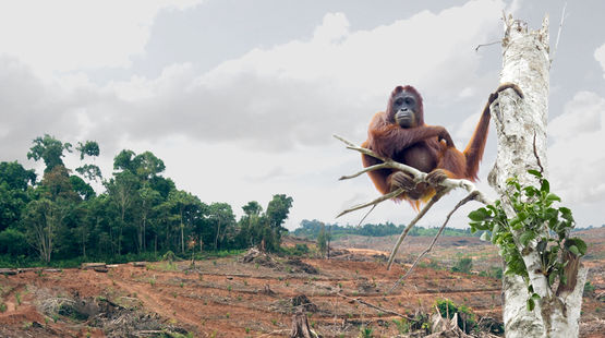 An orangutan sitting on a stripped tree in front of freshly cleared rainforest land