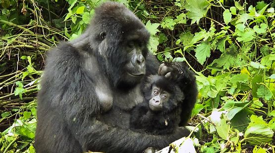 Gorilla mother with baby in her arms in the Virunga Rainforest