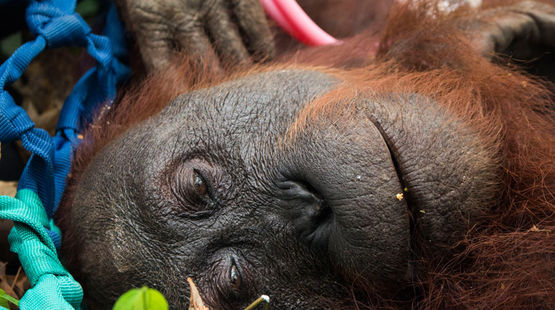 An orangutan mother rescued from a burning forest