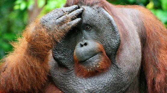 Male orangutan facepalming