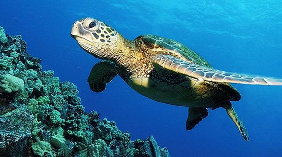 Underwater photo of a sea turtle on a reef