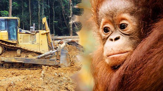 Un orang outans montres impuissants comment un bulldozer détruit la forêt tropicale