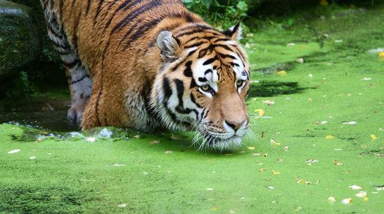 tiger-wasser-sumpf