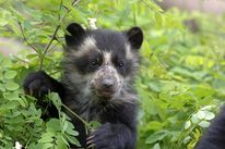 A young spectacled bear