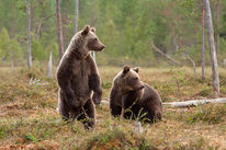 Two brown bears in a forest clearing