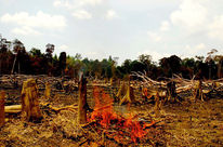 Burning rainforest which has to make place for palm oil plantations