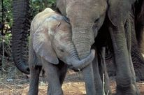 An elephant mother and calf