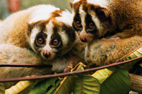Slow Lorises in Indonesia
