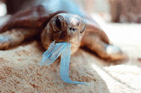 A sea turtle with a scrap of plastic hanging from its beak